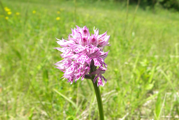Orchidea spontanea nei vigneti Torelli a Bubbio