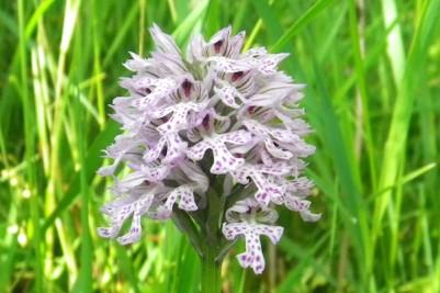 Orchidea nel vigneto Torelli a Bubbio