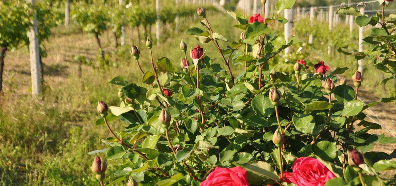 Rose nel vigneto Torelli a Bubbio